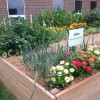 Raised bed with flowers, onions, peppers, tomatoes, and peas