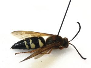 A female cicada killer wasp pinned on a white background