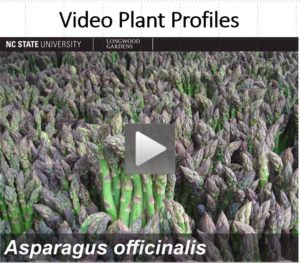 Screen Shot Asparagus Video