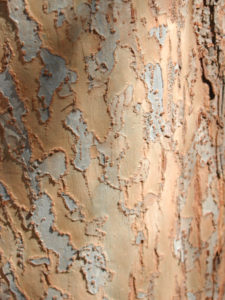 Ulmus parvifolia bark