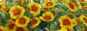 Annuals, Perennials, Vines, and Groundcovers: Identification and Use