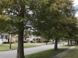 Bald Cypress Street Trees