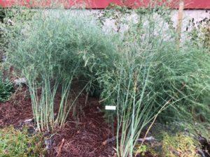 Asparagus in Garden Bed