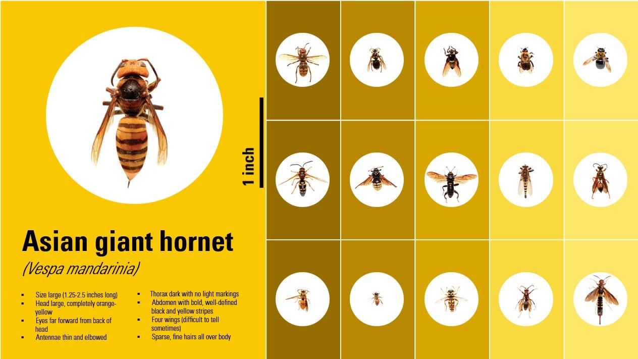 Asian Giant Hornet chart