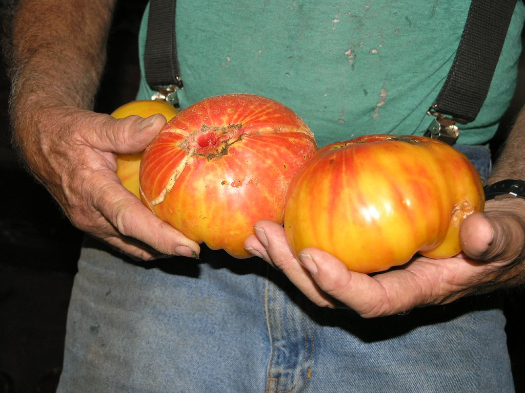 mr stripey tomato Mandie ccbyncnd2