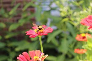 Bumblebee moth on zinnia